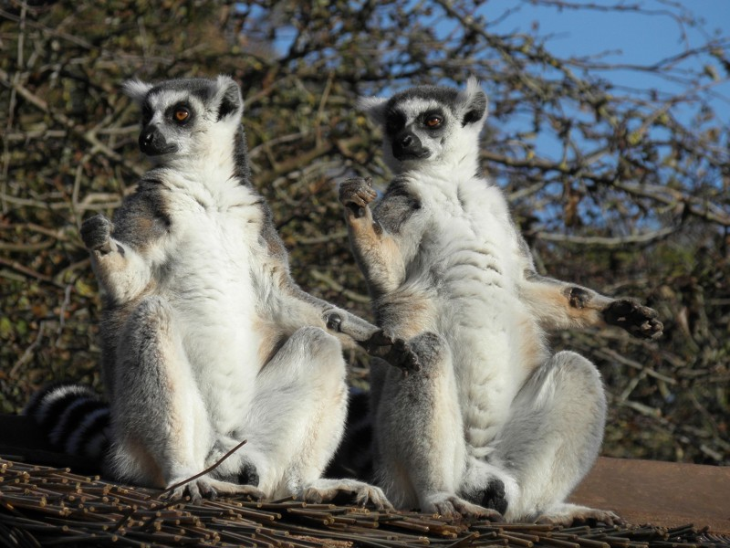 Lemurs sitting in the sun