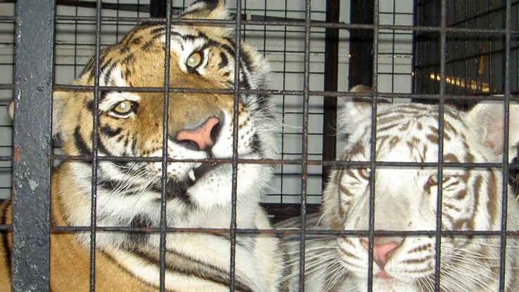 Tigers imprisoned in the circus
