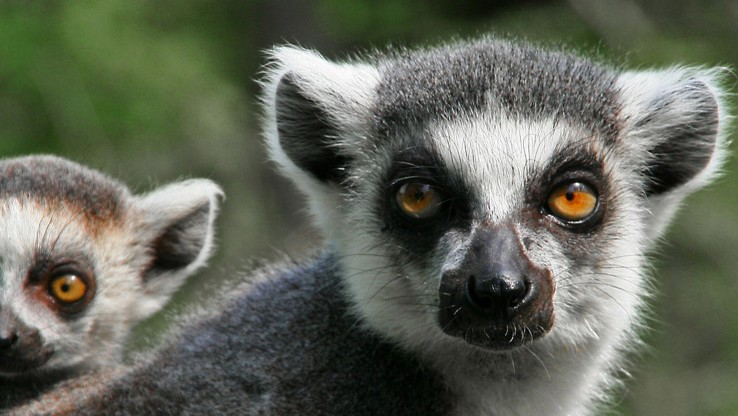 lemur with baby