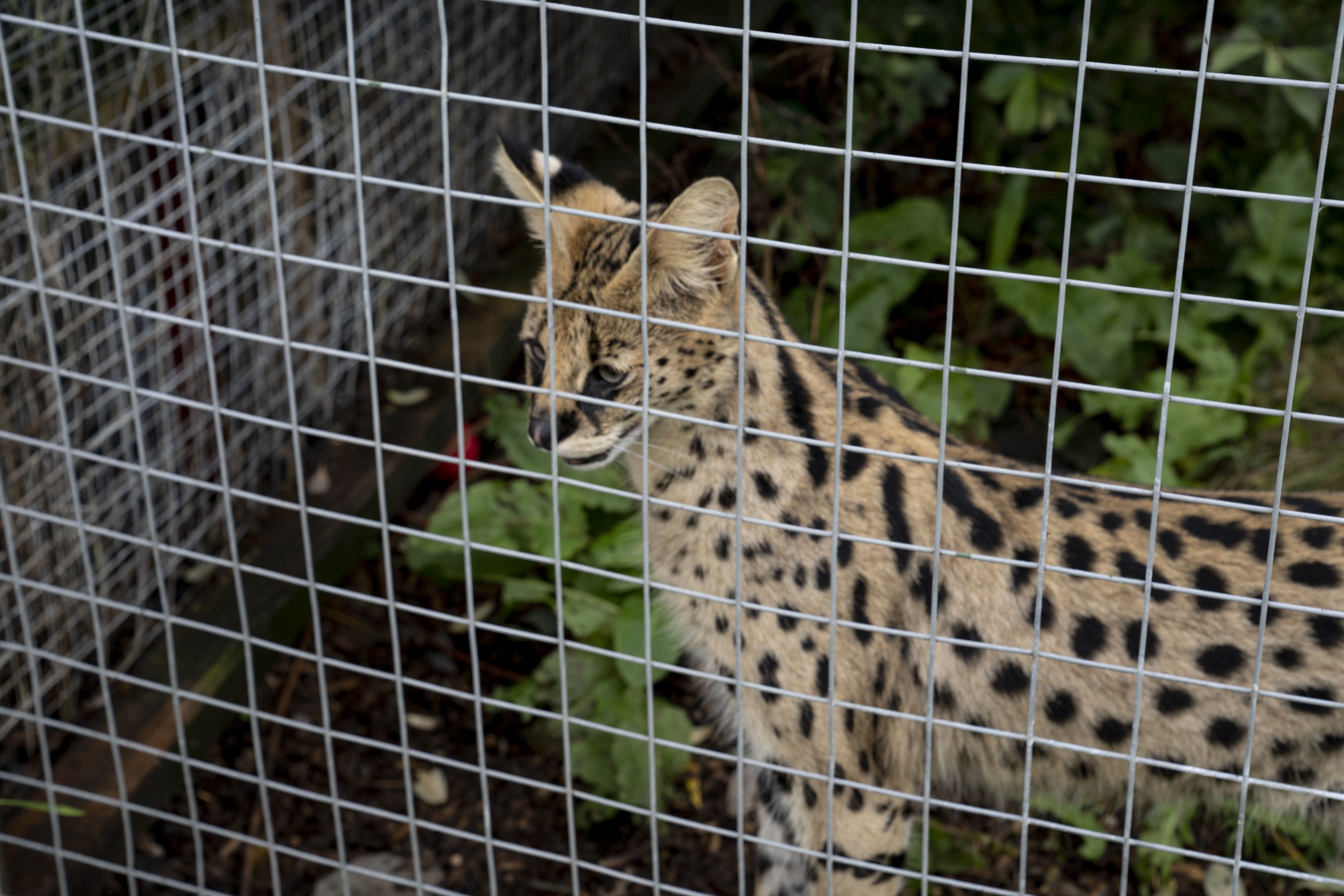 VICTORY: Borth Zoo Ordered to Rehome Big Cats