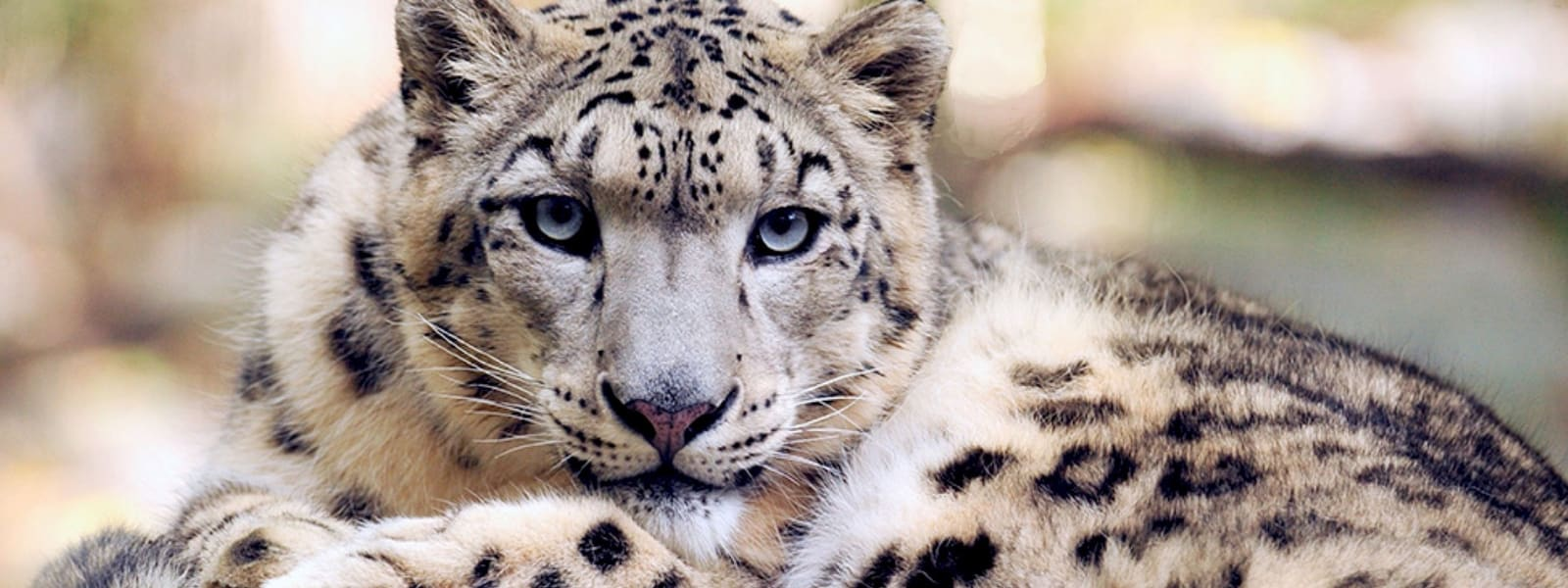 Snow leopard shot dead at Dudley Zoo