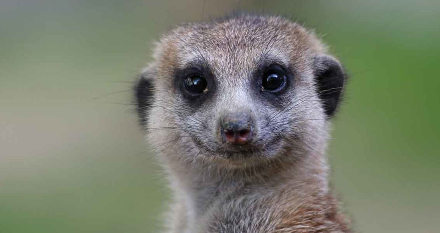 Meerkats deserve to be free, not trapped in a mobile zoo