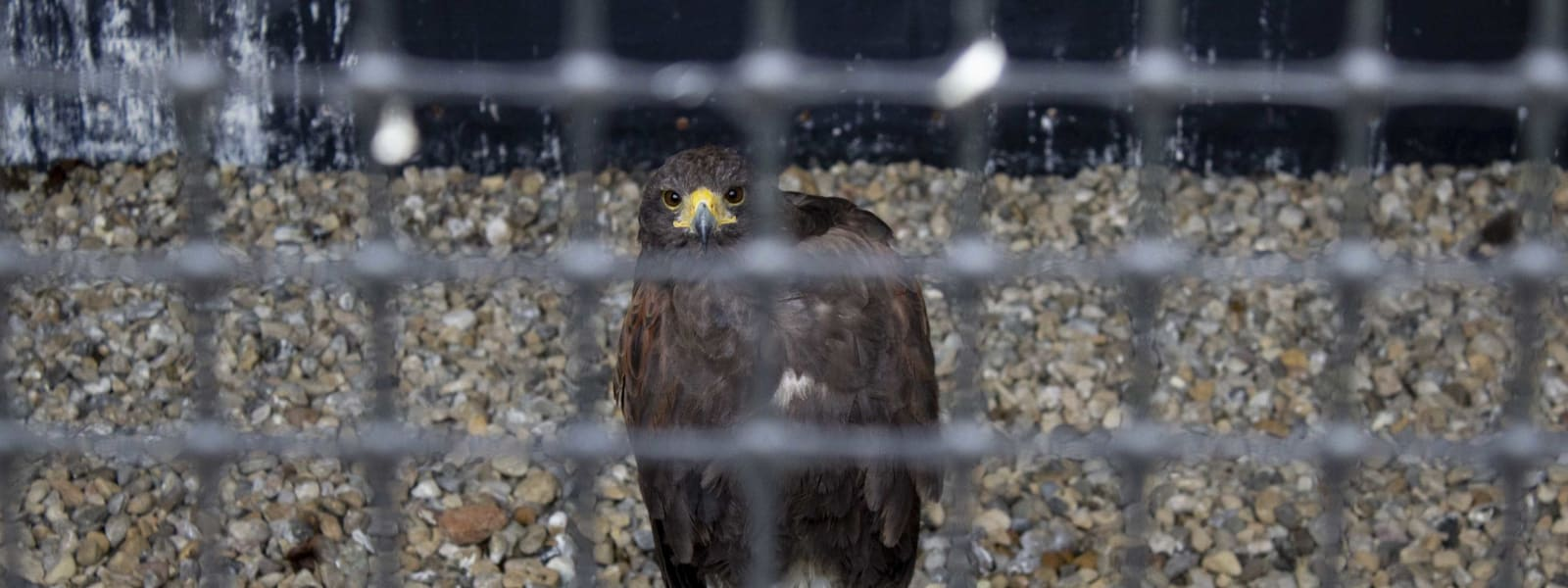 'Largest Travelling Display of Birds of Prey in the UK' Found to be Operating 'Illegally'