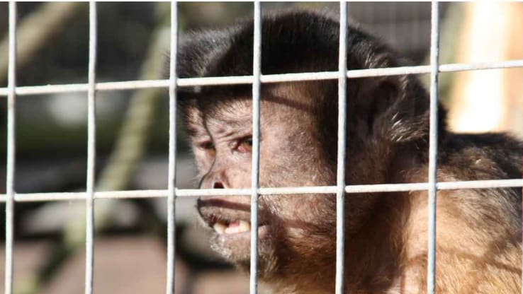 Political parties pledge to ban primates as pets