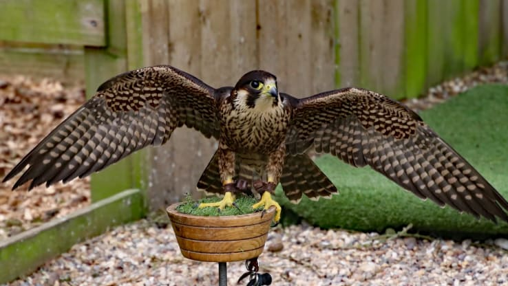 Natural England Allow Six Peregrine Chicks to be Taken From the Wild