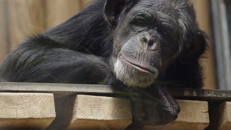 Crowds and Flash Photography Make Captive Chimpanzees Anxious