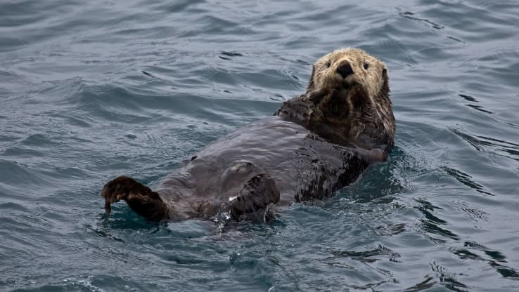 Alaskan Sea Otters to be Shipped 5,000 Miles to Birmingham Aquarium