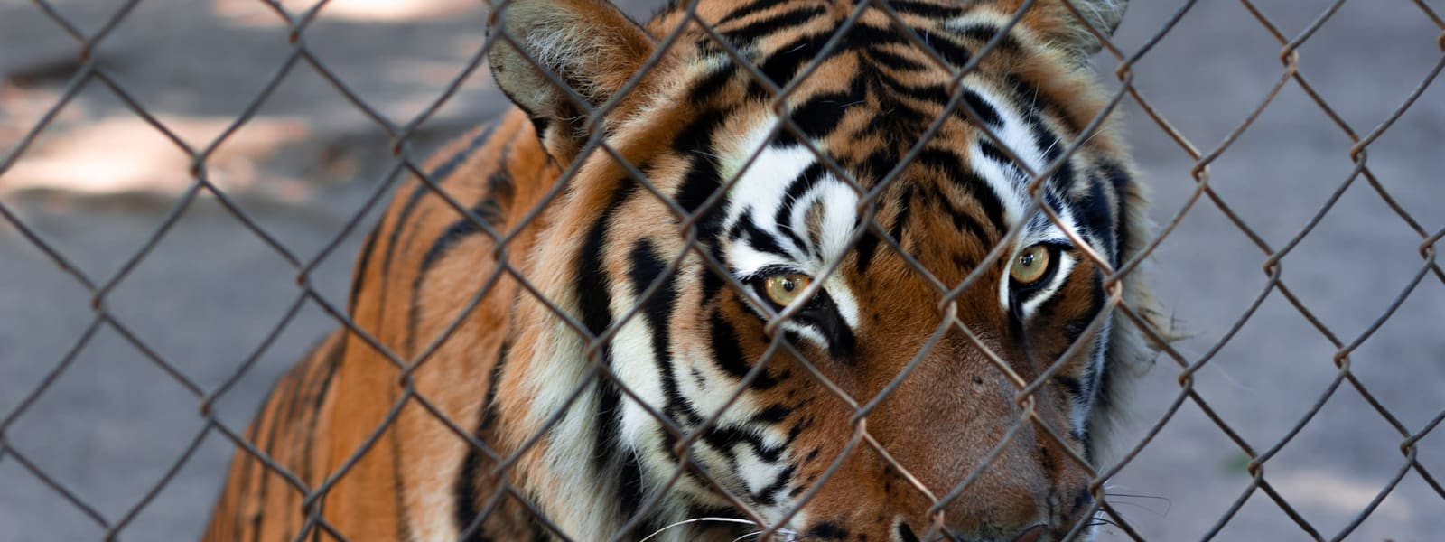 The Problems With 'Britain's Tiger Kings'