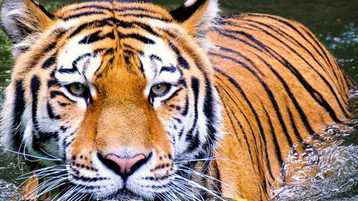 What went wrong: two tigers dead within a week
