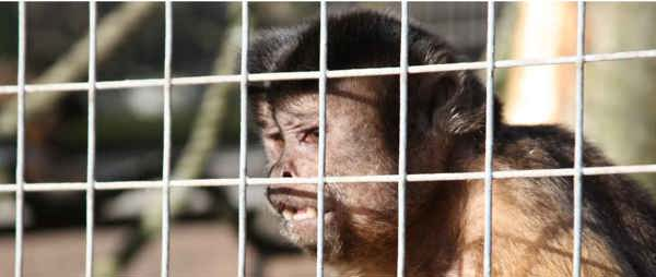Ban the primate pet trade
