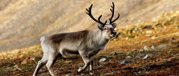 Reindeer supplier admits animals dying in Britain