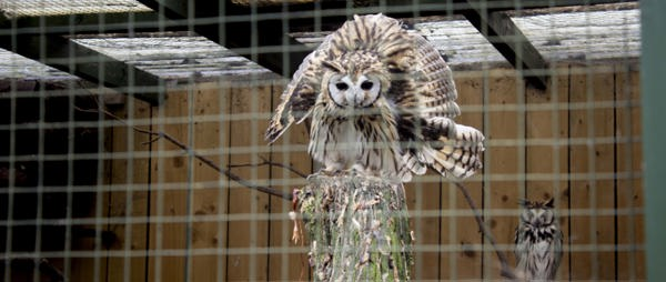 Nocturnal Owls Kept for Daytime Displays