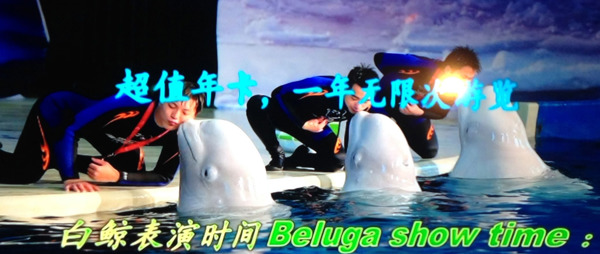 Beluga whales start 6000 mile journey to sanctuary